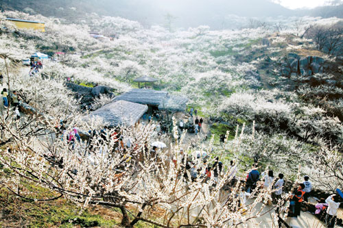 Apricot Flower ( By Gwangyang City Hall )